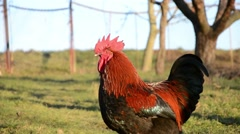 Rooster crows at a farm Stock Footage