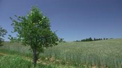 Tree, Field Corn, Summer Landscape Stock Footage