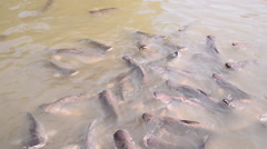 Many Iridescent shark in farm Stock Footage