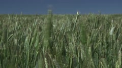 Field of Grain - stock footage