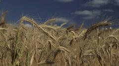 Field of Grain Stock Footage