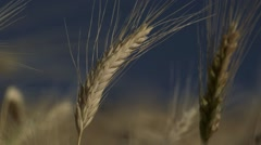 Field of Grain - detail Stock Footage