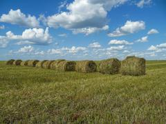field and hay rolls - stock photo