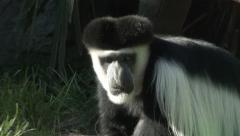 Colobus Monkey Eating Close Up Stock Footage