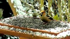 Hawfinch bird in feeder in winter Stock Footage