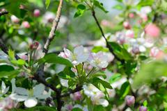 Stock Photo of Apple blossom on a blurred background