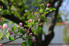 Apple blossom and buds on the blurred background Stock Photos