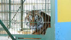 Tiger in cage, turns head to camera Stock Footage