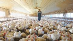 Chicken farmer checking out his chickens - stock footage