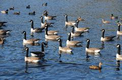 France, ducks on a pond in automn - stock photo