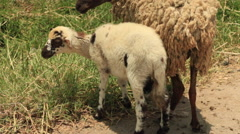 Mother with Baby Sheep Lamb Stock Footage