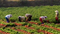 Farmers Harvesting carrots on field Stock Footage