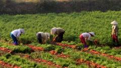 Farmers Harvesting carrots on field - stock footage