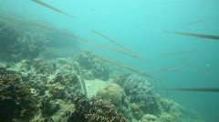 School of cornetfish (flutemouths) swimming underwater over coral reef Stock Footage