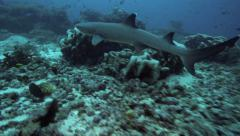 Whitetip reef shark swimming underwater Stock Footage