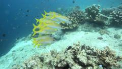 Yellowfin goatfish swimming over coral reef Stock Footage