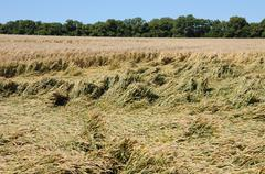 France, wheat field devastated by storm in Vigny - stock photo