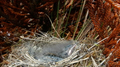 Chicks, about 2 weeks old, of Plumbeous Sierra Finch (Phrygilus unicolor) Stock Footage