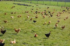 Stock Photo of France, poultry farming in Brueil en Vexin