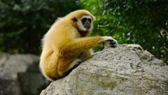 Female Lar Gibbon on a Boulder at Chiang Mai Zoo Stock Footage