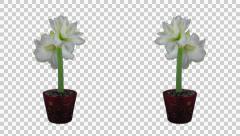 "Time-lapse of opening white ""Alfresco"" amaryllis Christmas flower Stock Footage"
