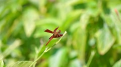 Red Dragonfly On Leaf - stock footage