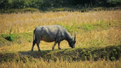 Water Buffalo Grazing on Farm near Luang Prabang, Laos Stock Footage