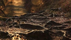 Roots in the old forest Stock Footage