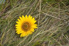 Wedding rings on yellow sunflower nd grass Stock Photos