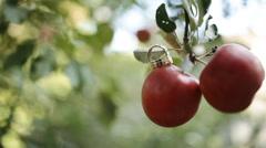 Wedding rings on apples Stock Footage