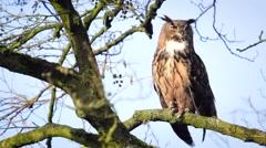 Eurasian eagle-owl (Bubo bubo) sitting in a tree Stock Footage