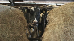 Milk Cow eating at a farm Stock Footage