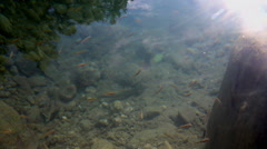 Underwater life of freshwater fish Stock Footage