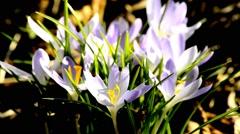 Crocus, spring flower of Germany Stock Footage