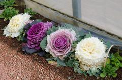 ornamental decorative cabbage in japan - stock photo