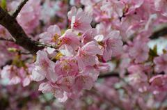 Beautiful pink cherry blossom (Sakura) flower at full bloom in Japan Stock Photos
