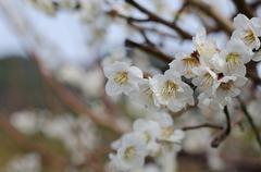 Japanese apricot flower blossom, Kawazu cherry tree in Shizuoka japan - stock photo