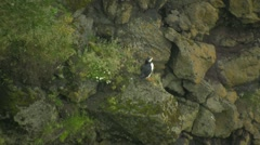 Whild birds Puffins in Vik Iceland Stock Footage