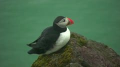 Whild birds Puffins in Vik Iceland-4 close-up Stock Footage