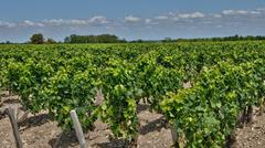 vineyard of Saint Julien Beychevelle in Gironde - stock photo