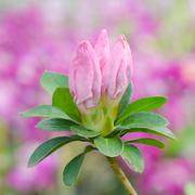 Azalea bud Stock Photos