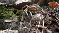 Crabs in the mountains of the Mediterranean Stock Footage