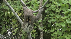 Sloth moving on a brench in the jungle II Stock Footage