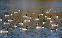 France, ducks on a pond in automn Stock Photos