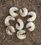 Group of beetle larvae on the ground. Stock Photos