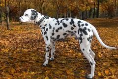 Animal dog dalmatian pet Kuvituskuvat