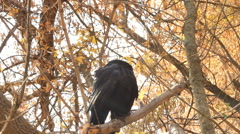 Crow in autumn Stock Footage