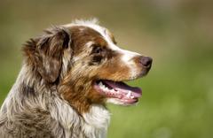 dog, autralian shepherd in a meadow - stock photo