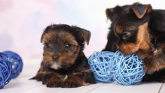 Yorkshire terrier puppy - stock footage