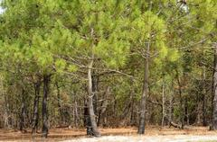 France, the maritime pine forest of Lacanau Ocean In Gironde - stock photo